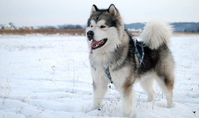 Huấn luyện chó Alaska nghe theo lời răm rắp