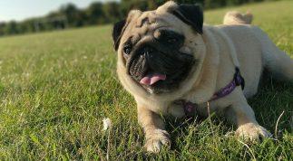 Cách nuôi, chăm sóc, huấn luyện chó Pug chuyên nghiệp